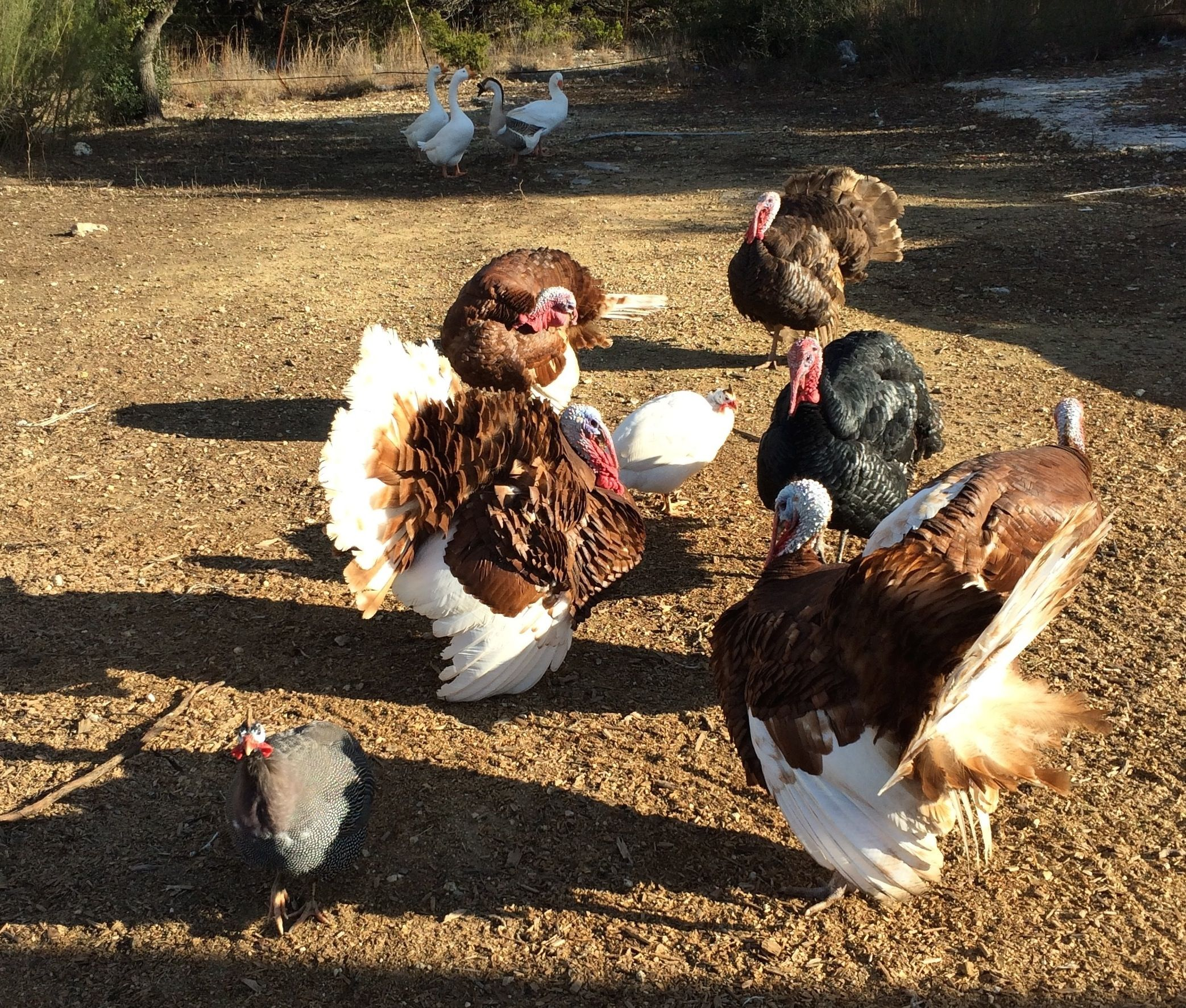 Our pet Tom Turkeys are getting frisky... babies  to follow ?