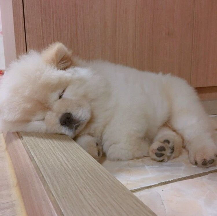 Pin By Diane Dziedzic On Chows Sleeping Puppies Cute Baby