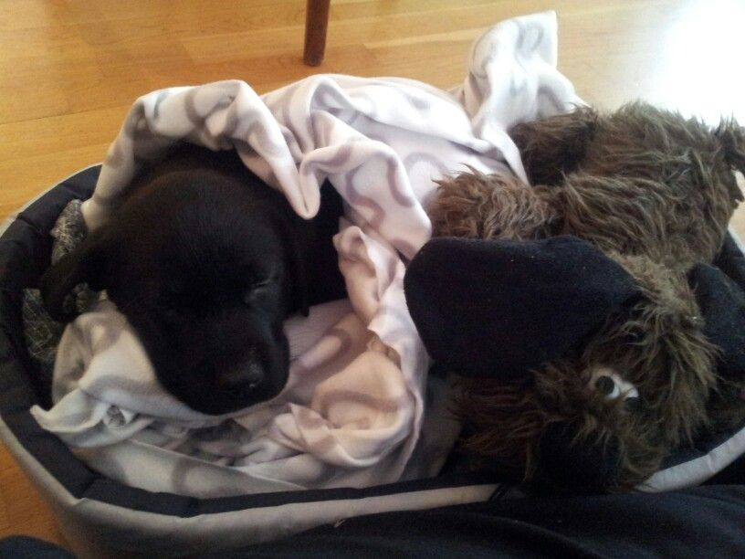 Labrador puppy, after playing in the snow!