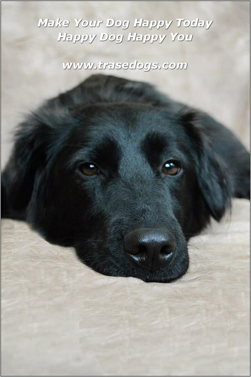 Talking About Dog Dogs Black Lab Mix Australian Shepherd