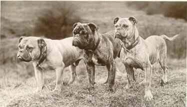 Pin By Ashley Jimenez On Bulldogge Victorian Bulldog Olde