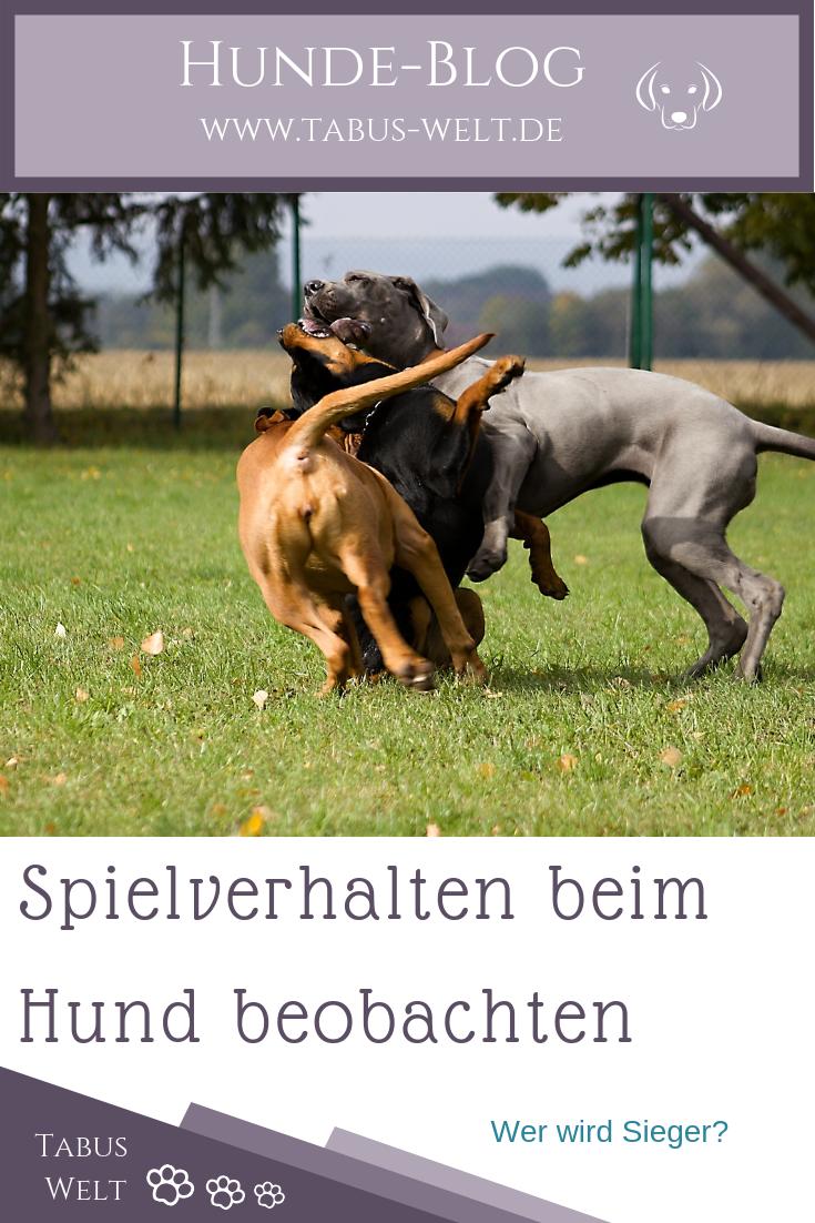 Spielverhalten Beim Hund Hunde Hundchen Training Hundeverhalten