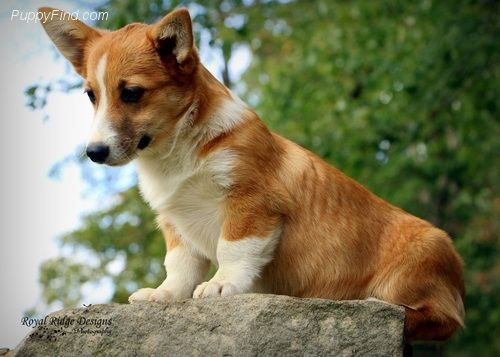 Puppies For Sale At Puppyfind Com Pembroke Welsh Corgi Corgi Pictures Puppies