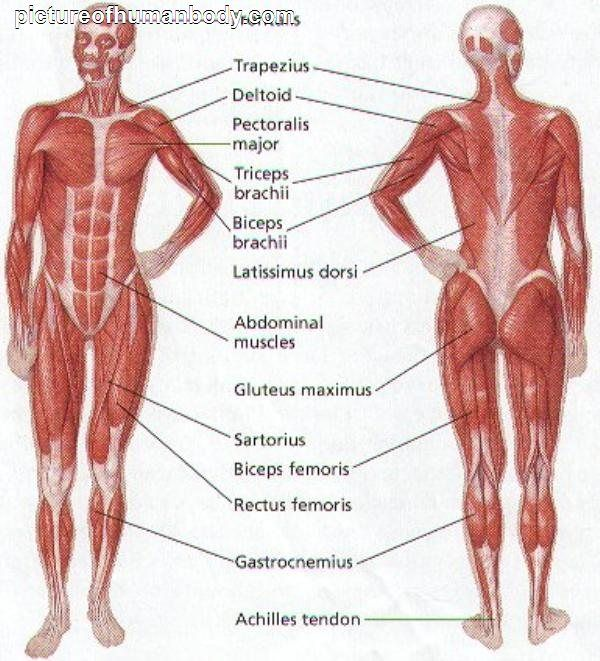 anatomy muscles chart - Carnaval.jmsmusic.co