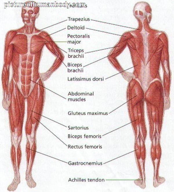 Human Anatomy Bones Of The Human Body Mjs Anatomy Pinterest
