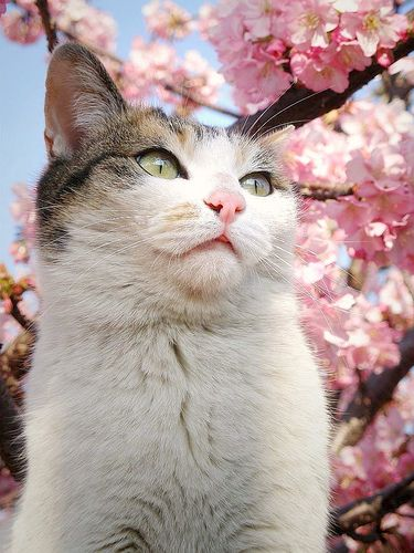 Sakura Cat Cute Animals Pretty Cats Cats