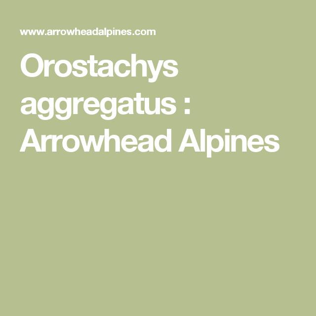 Orostachys aggregatus : Arrowhead Alpines