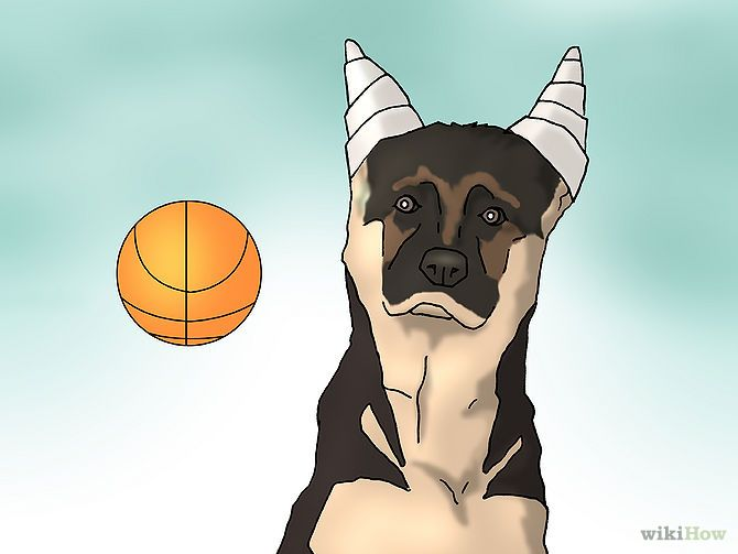 Tape Up Stubborn German Shepherd Puppy Ears Funny Wiki How