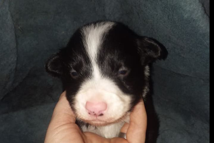 Kelsey Bowers Has Border Collie Puppies For Sale In Corydon Ia On