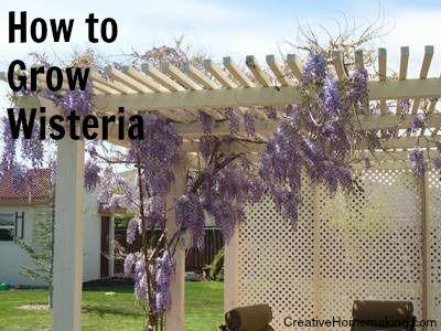 How To Grow Wisteria Wisteria How To Grow Wisteria Pergola