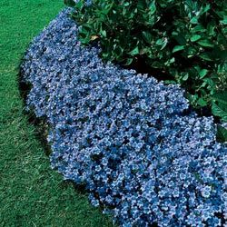 Blue clips campanula gorgeous ground cover height 12 for Best low growing groundcover for full sun