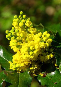 Oregon Grape Flower Bush Large Yellow Cer Flowers Later Turn Into Small Bitter
