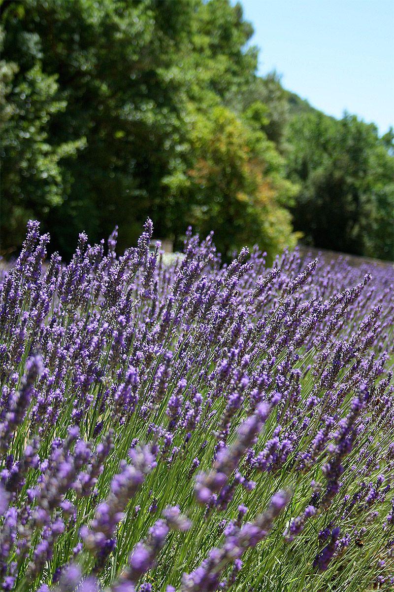 Lavandas (Provence)