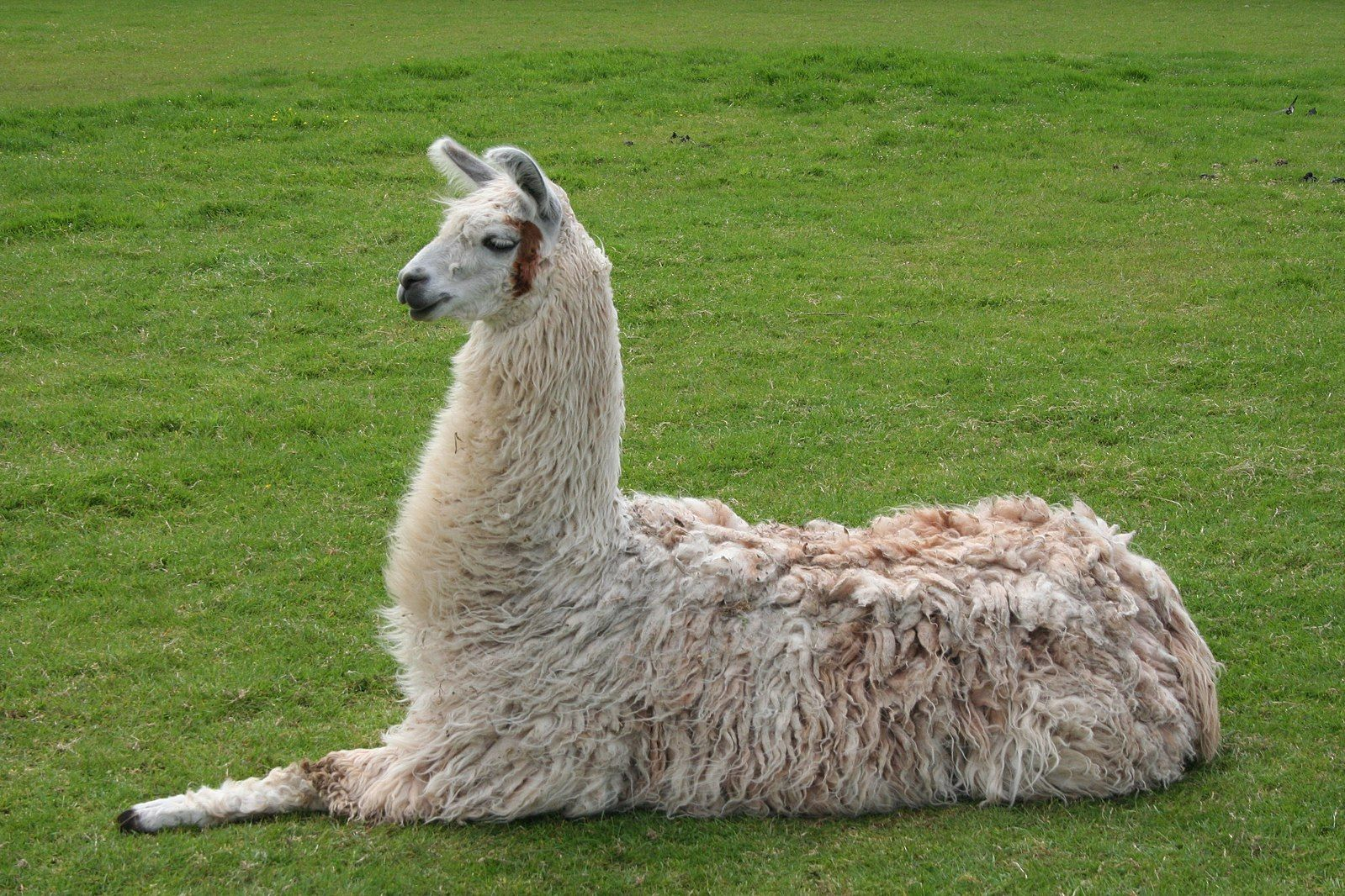 FileLlama lying down.jpg Funny animal pictures, Animal