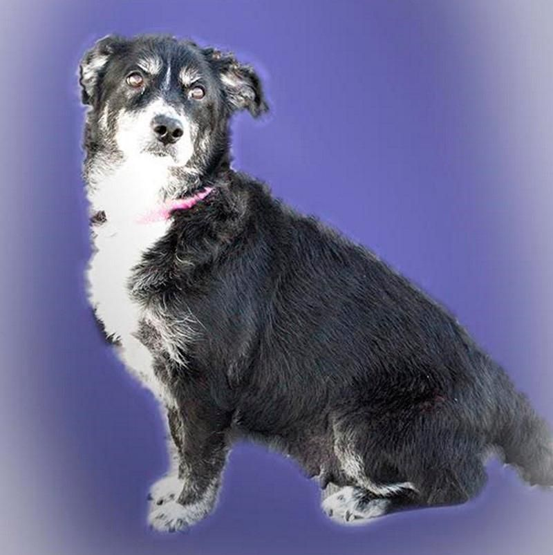 Adopt Roxanne On Adoption Pets Collie Mix