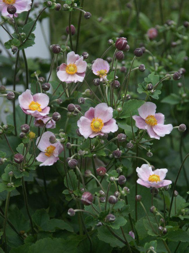 Anemone Robustissima Bluestone Perennials Flowers Perennials Perennials Anemone Flower