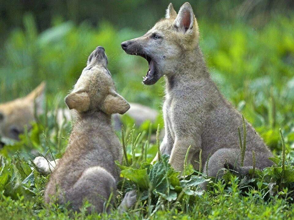 Cachorros de lobos