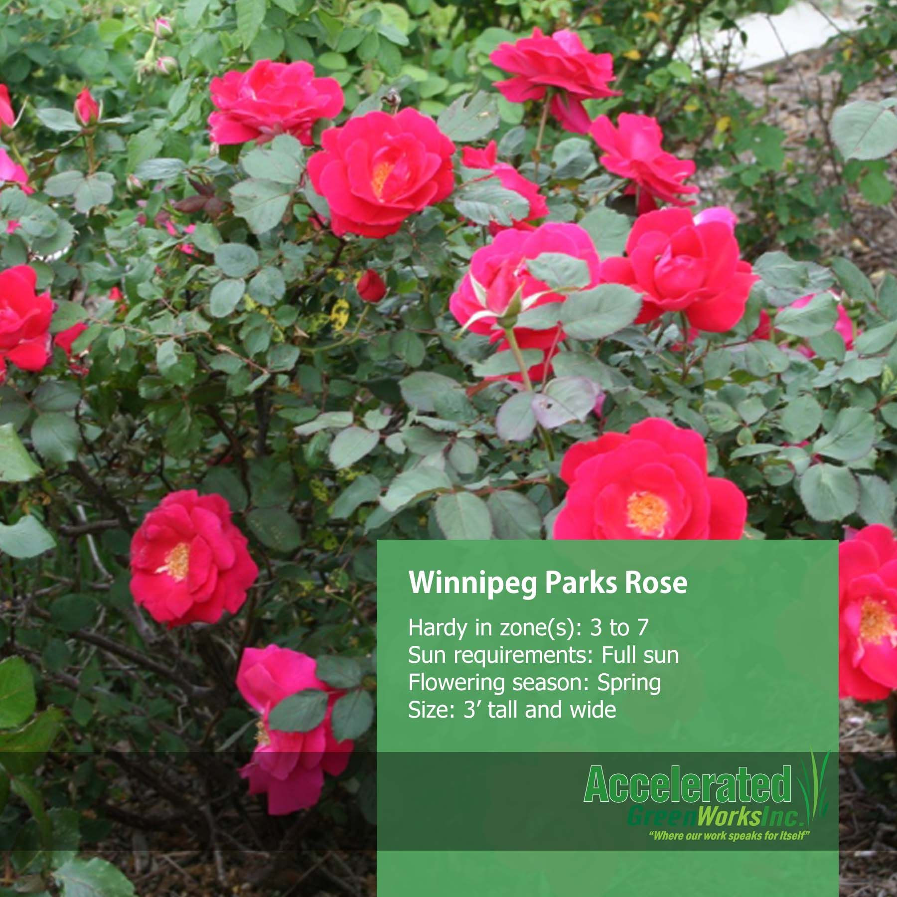 Winnipeg Parks Rose Lightly Scented Cherry Red Flowers Blooms From