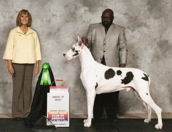 Past Champions Great Dane Breed Harlequin Great Danes Great Dane