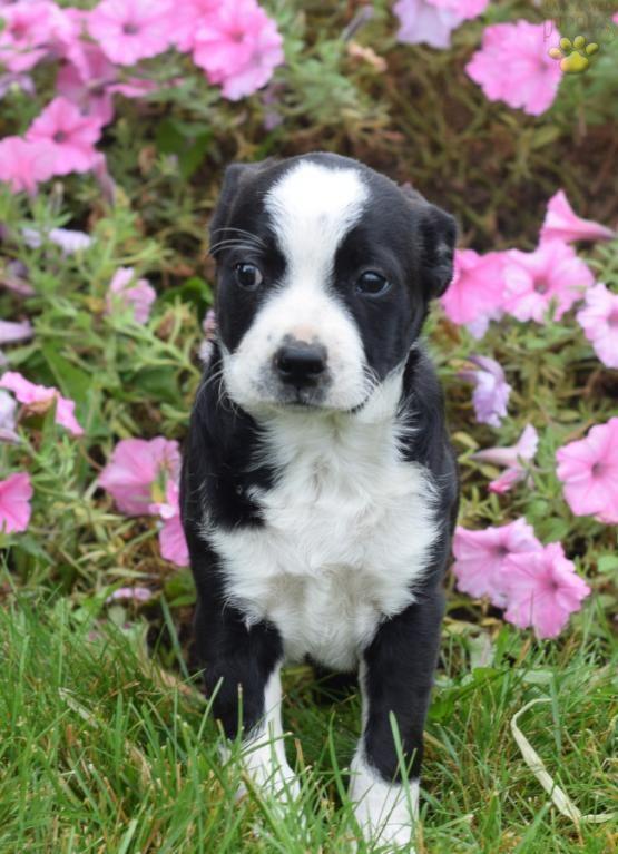 Sadie Boston Terrier Mix Puppy For Sale In Dalton Oh Lancaster Puppies Terrier Mix Lancaster Puppies Boston Terrier