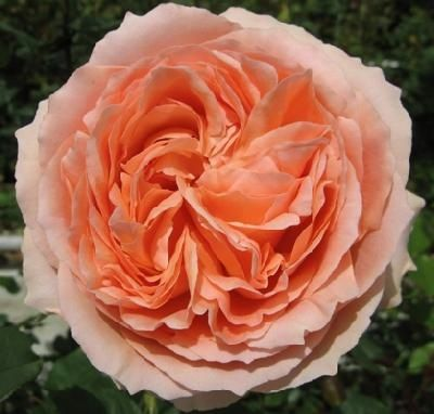 campanella pink garden rosereally similar to a juliet rose