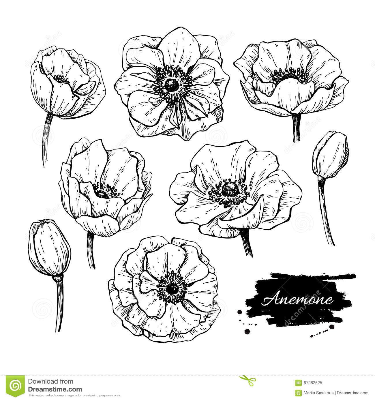 Vector Vintage Anemone Set Hand Drawn Illustration Stock Vector Image 67982625 Pencil Drawings Of Flowers Floral Drawing Anemone