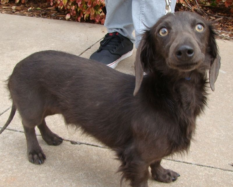 Adopt Ty On Dachshund Dog Dachshund Dogs