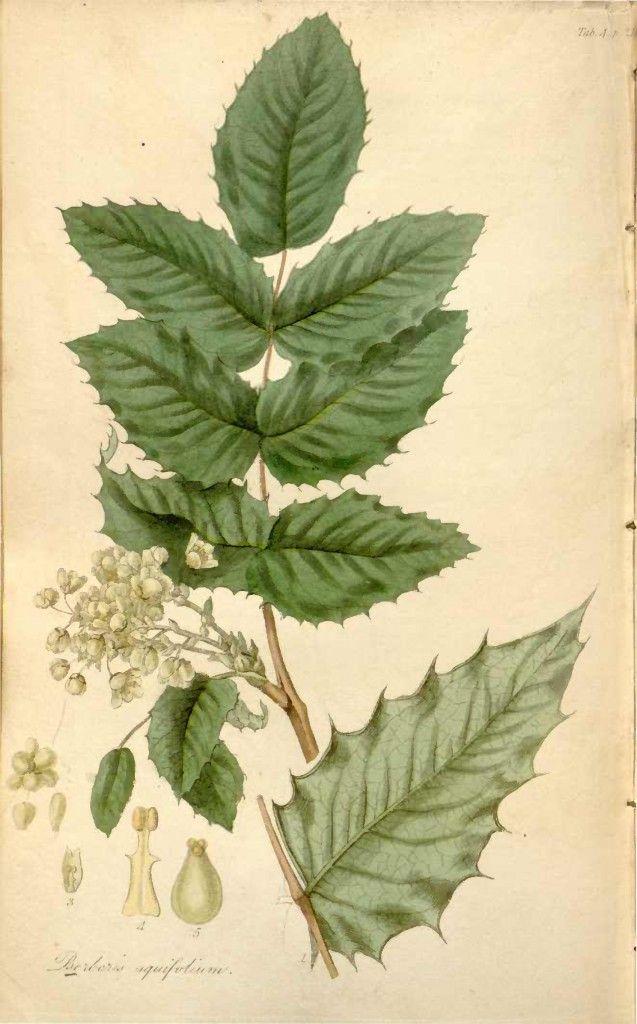 Tall oregon grape mahonia aquifolium botanic for Oregon craft floral