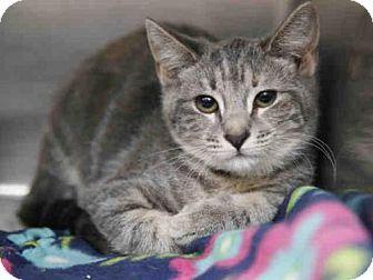 Phoenix Az Domestic Shorthair Meet Annie A Kitten For Adoption Kitten Adoption Pets Cat Adoption