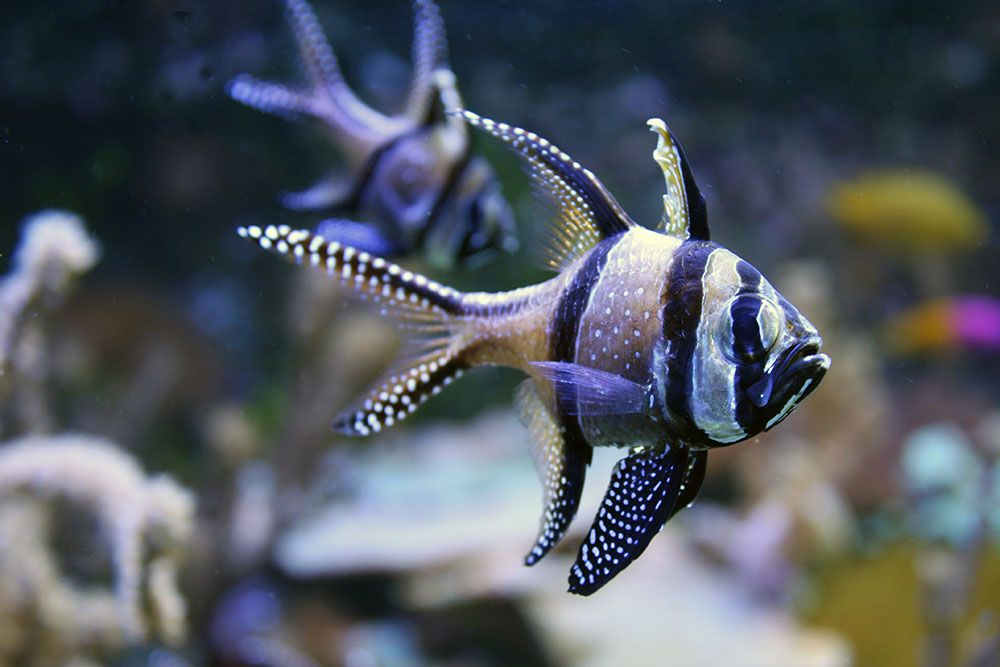 banggai cardinalfish saltwater aquarium pinterest