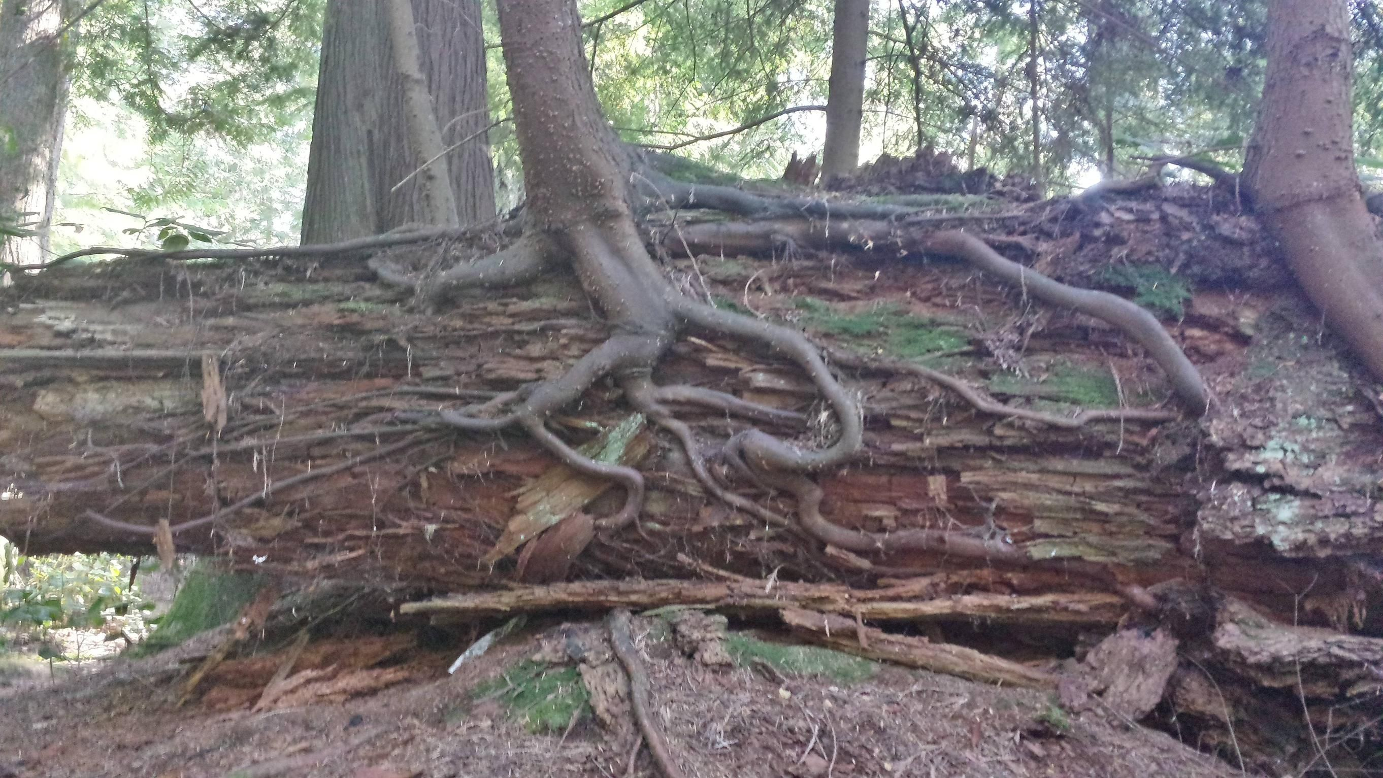 A trees root system seen growing through a dead tree - Imgur