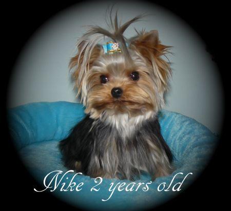 Yorkshire Terrier Puppies For Sale Breeder Bc Canada Perros Peinados Alicia Pais Maravillas