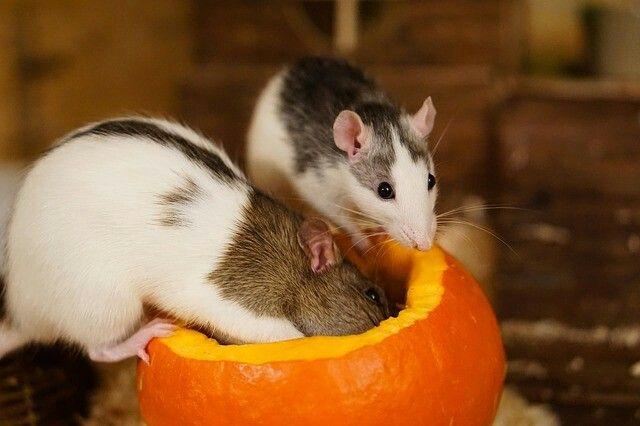 Rat Rats Ratsofinstagram Ratsagram Ratsofig Ratte Ratten Farbratten Ratsofinsta Ratsaspets Petrats Petrat Cute Ratphotography Farbratten Ratte Spielzeug Und Ratte Haustier