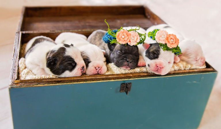 This French Bulldog S Maternity Photo Shoot Is Pure Gold French
