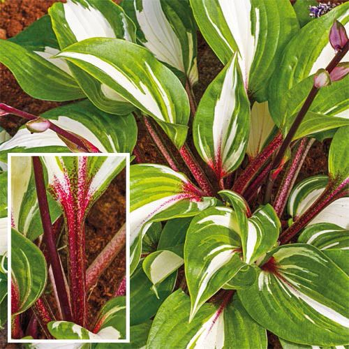 Hosta Raspberry Sundae Variegated Leaf Red Stem Bare Root Shade