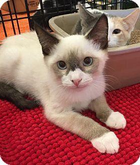 Lakewood, CA - Siamese. Meet Pouncer, a kitten for adoption. http://www.adoptapet.com/pet/13311989-lakewood-california-kitten