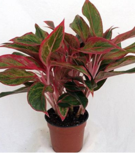 Aglaonema Firecracker Plants   Air cleaning plants, Red