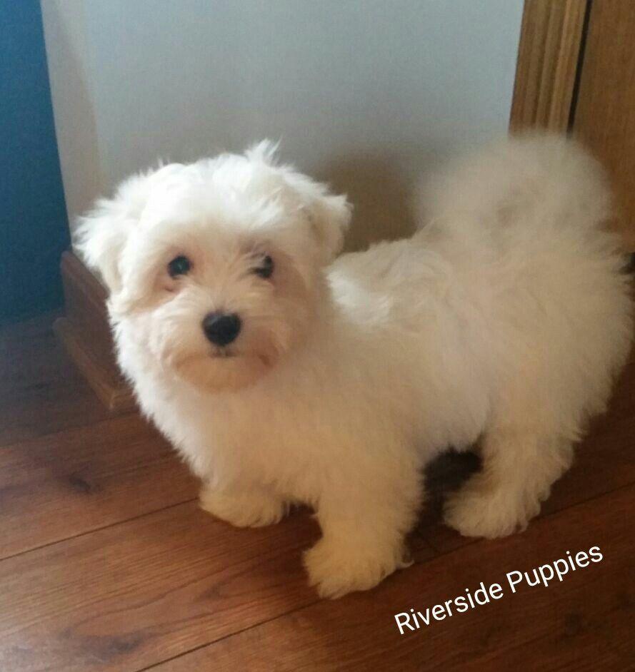 Maltese Facebook Riverside Puppies Ohio Riverside Animals