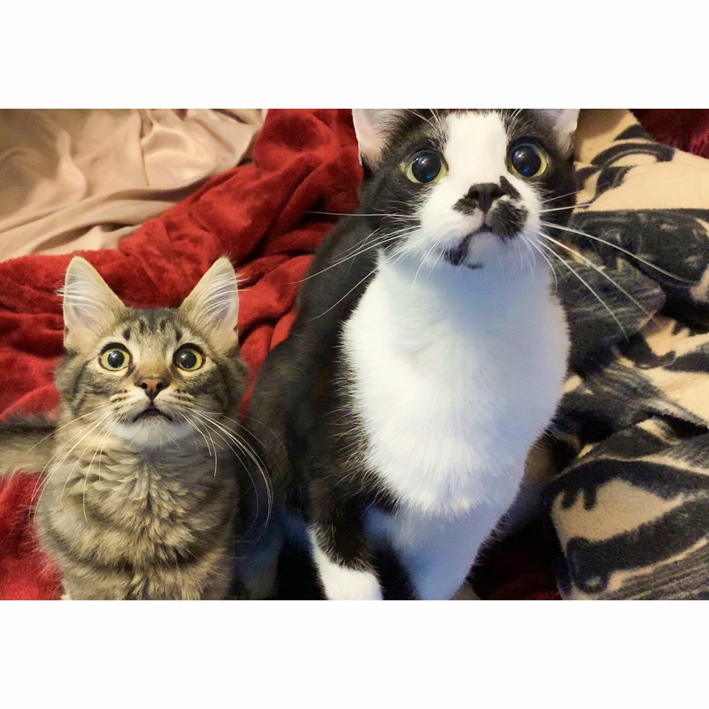 Black and white tuxedo cat, medium hair tabby kitten