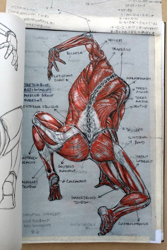 Pin de Александр Никитин en Анатомия | Pinterest | Anatomía ...