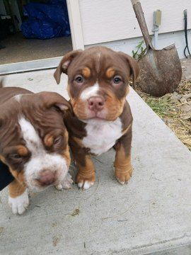 Litter Of 7 American Bully Puppies For Sale In Kalispell Mt Adn