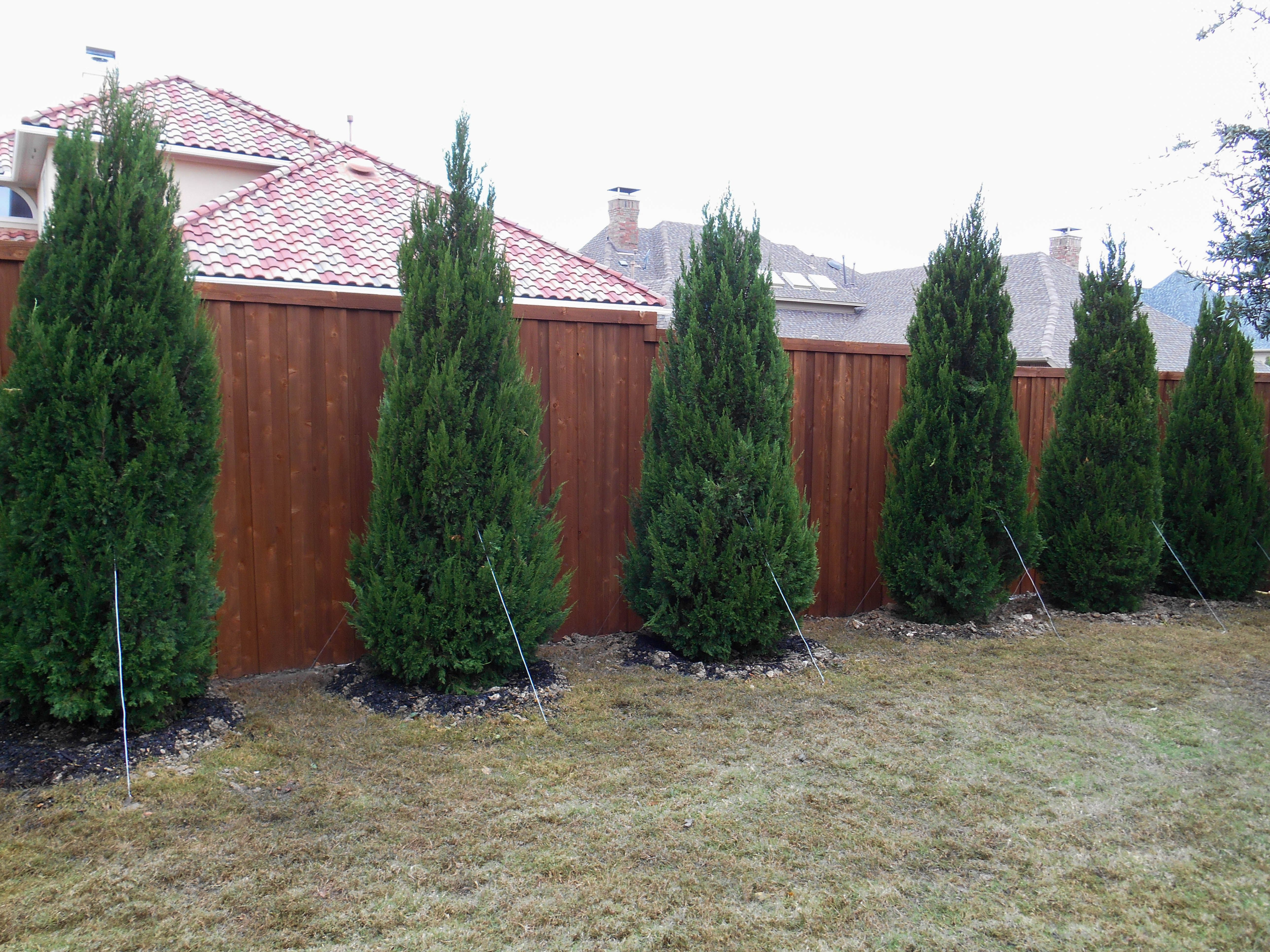 A Beautiful Hedge Of Spartan Junipers For Backyard Privacy Learn More About Spartan Junipers By Vi Privacy Landscaping Home Landscaping Natural Privacy Fences