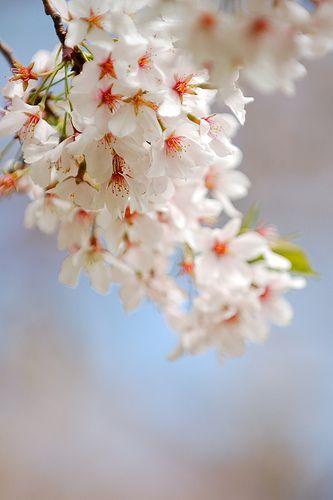 Dsc 0056 Spring Flowering Trees Beautiful Flowers Sakura Cherry Blossom