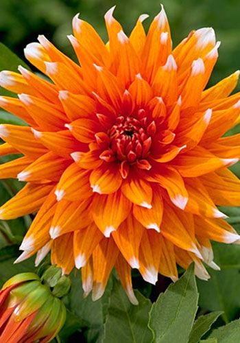 Shop Garden State Bulb 4 Pack Color Spectacle Dahlia Lb21793 At Lowes Com Amazing Flowers Beautiful Flowers Planting Flowers