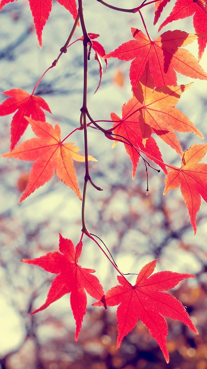 Beautiful-Leafs-Autumn-iPhone-Wallpaper Check more at http://iphoneswallpapers.com/beautiful-leafs-autumn-iphone-wallpaper/