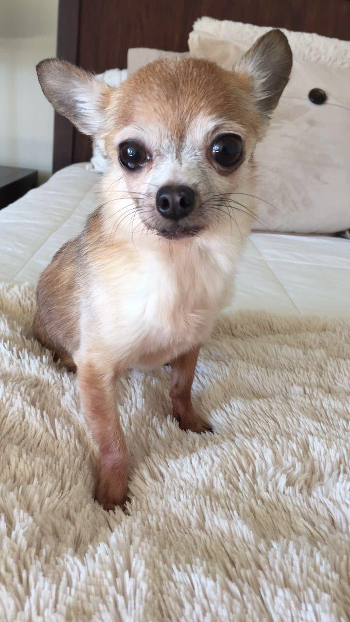 Pin By Anita Nelson On Chihuahua Chihuahua Animals Fox