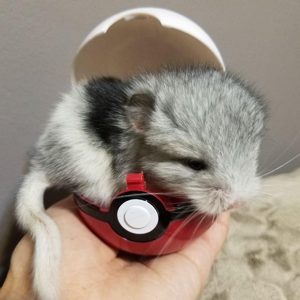 Baby Chinchilla From Chinchilla Chateau In Ear Headphones Beats Headphones Over Ear Headphones
