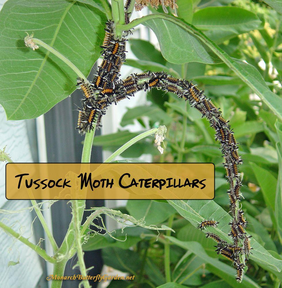 Stop Milkweed Pests From Ruining Milkweed For Monarchs Milkweed Plant Milkweed Raising Monarch Butterflies
