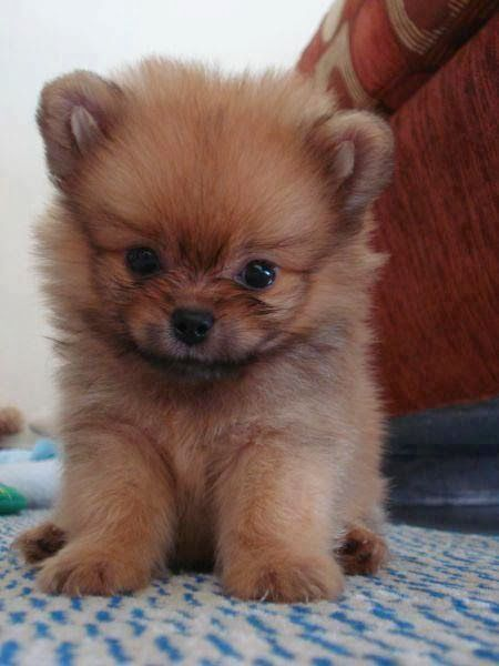 How Much Does A Pomeranian Puppy Cost Annie Many Cute Baby