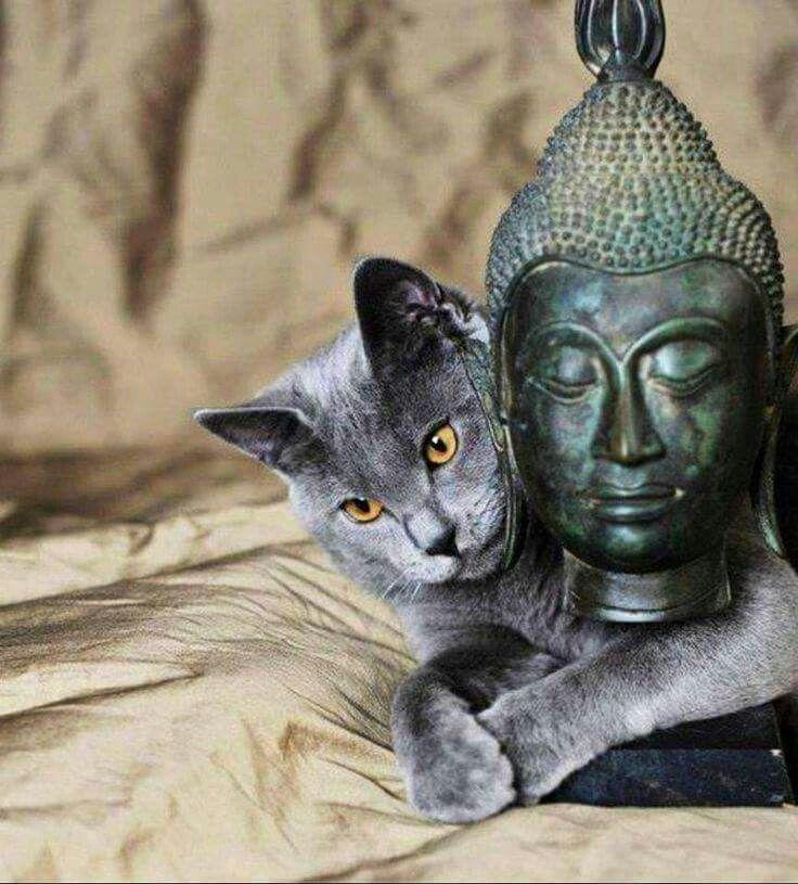 Cat with Buddha head  *m